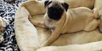 Pug Puppies for sale in Totowa, NJ, USA. price: NA