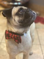 Pug Puppies for sale in Tucson, AZ 85711, USA. price: NA