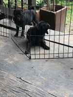 Pug Puppies for sale in Conroe, TX, USA. price: NA
