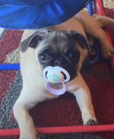 Pug Puppies for sale in Melbourne, FL, USA. price: NA