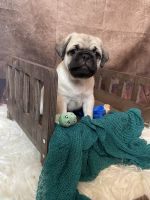Pug Puppies for sale in Egg Harbor City, NJ 08215, USA. price: NA