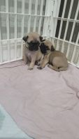 Pug Puppies for sale in Longwood, FL 32750, USA. price: NA