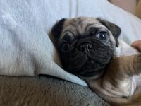 Pug Puppies for sale in San Jose, CA, USA. price: NA