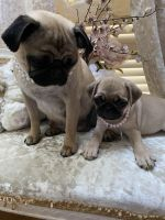 Pug Puppies for sale in TX-8 Beltway, Houston, TX, USA. price: NA