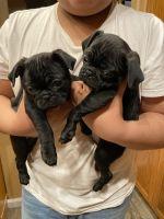 Pug Puppies for sale in Stockton, CA, USA. price: NA