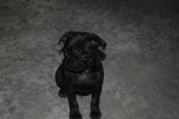 Pug Puppies for sale in Caledonia, MI 49316, USA. price: NA