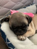 Pug Puppies for sale in Hesperia, CA 92345, USA. price: NA