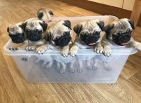 Pug Puppies for sale in Lithia, FL, USA. price: NA