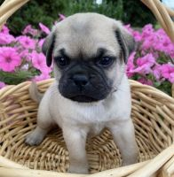 Pug Puppies for sale in Lionville, PA 19341, USA. price: NA