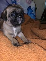 Pug Puppies for sale in Slidell, LA, USA. price: NA