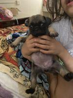 Pug Puppies for sale in Dallas, TX, USA. price: NA