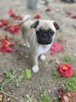 Pug Puppies for sale in Virginia Beach, VA 23464, USA. price: NA