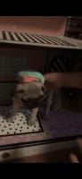 Pug Puppies for sale in Fredericksburg, VA 22401, USA. price: NA