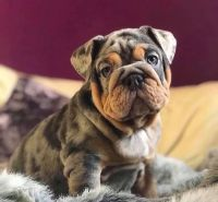 Pug Puppies for sale in Florence, SC, USA. price: NA
