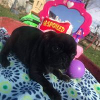 Pug Puppies for sale in Montrose, CO, USA. price: NA
