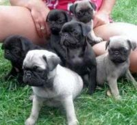 Pug Puppies for sale in Philadelphia, PA, USA. price: NA