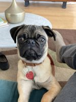 Pug Puppies for sale in Chicago, IL, USA. price: NA