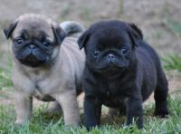 Pug Puppies for sale in Jackson, AL 36545, USA. price: NA