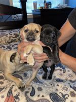 Pug Puppies for sale in American Canyon, CA 94589, USA. price: NA