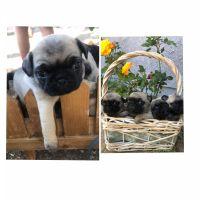 Pug Puppies for sale in Yorba Linda, CA 92886, USA. price: NA