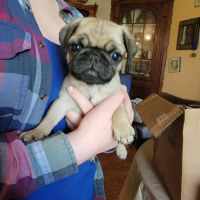 Pug Puppies for sale in Grimsley, TN 38556, USA. price: NA