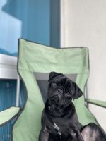 Pug Puppies for sale in Charlotte, NC 28269, USA. price: NA