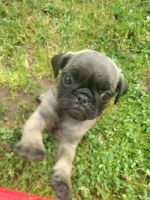 Pug Puppies for sale in Winchester, VA 22601, USA. price: NA
