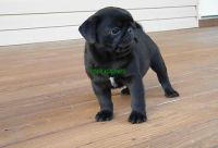 Puggle Puppies for sale in Arvada, CO, USA. price: NA