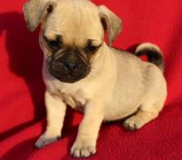 Puggle Puppies for sale in Allenspark, CO, USA. price: NA