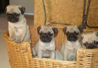 Puggle Puppies for sale in Round Rock, TX, USA. price: NA