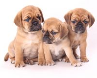Puggle Puppies for sale in Sacramento, CA, USA. price: NA
