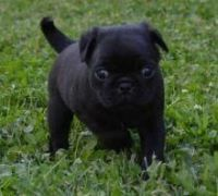 Puggle Puppies for sale in Phoenix, AZ, USA. price: NA