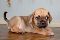 Puggle Puppies for sale in Houston, TX, USA. price: NA