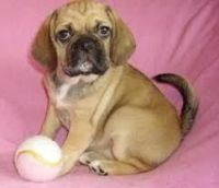Puggle Puppies for sale in Beaver Creek, CO 81620, USA. price: NA