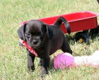 Puggle Puppies for sale in Chicago, IL, USA. price: NA