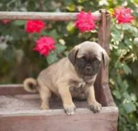 Puggle Puppies for sale in Boise, ID, USA. price: NA