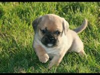 Puggle Puppies for sale in New Orleans, LA, USA. price: NA