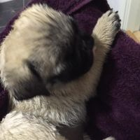 Puggle Puppies for sale in Miami, FL, USA. price: NA