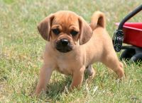 Puggle Puppies for sale in Madison, MS 39110, USA. price: NA