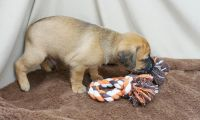 Puggle Puppies for sale in Los Angeles, CA, USA. price: NA