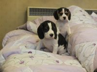 Puggle Puppies for sale in Minneapolis, MN, USA. price: NA
