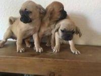 Puggle Puppies for sale in Cedar Rapids, IA, USA. price: NA