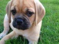 Puggle Puppies for sale in Ahsahka, ID 83520, USA. price: NA