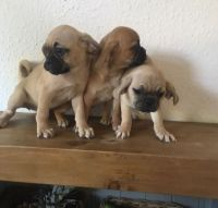 Puggle Puppies for sale in San Diego, CA, USA. price: NA