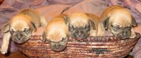 Puggle Puppies for sale in Hopkinsville, KY, USA. price: NA