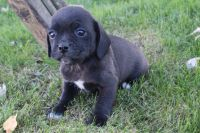 Puggle Puppies for sale in Canton, OH, USA. price: NA