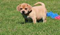 Puggle Puppies for sale in Detroit, MI, USA. price: NA