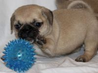 Puggle Puppies for sale in Dayton, OH, USA. price: NA