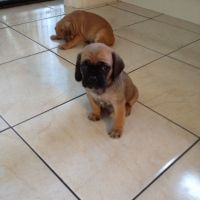 Puggle Puppies for sale in Terminal Dr, Nashville, TN 37214, USA. price: NA