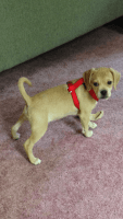 Puggle Puppies for sale in Holden, MA, USA. price: NA